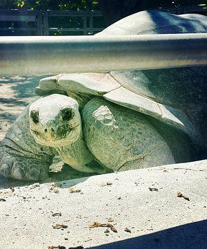 Schildpad von Kimberly Galjaard