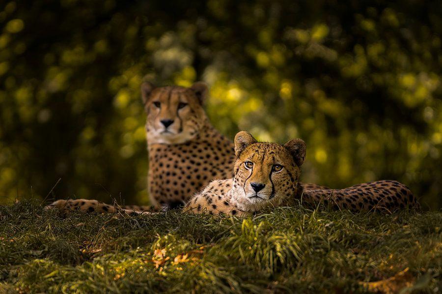 Cheetah Couple van Sake van Pelt