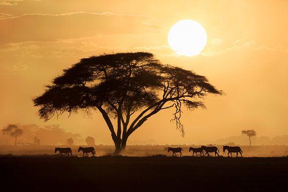Silhouet van een groep Zebra's (Equus quagga burchellii) lopend langs een grote Acacia boom tijdens