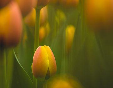 Tulpen von Jellie van Althuis