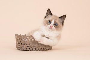Ragdoll kitten sur Elles Rijsdijk