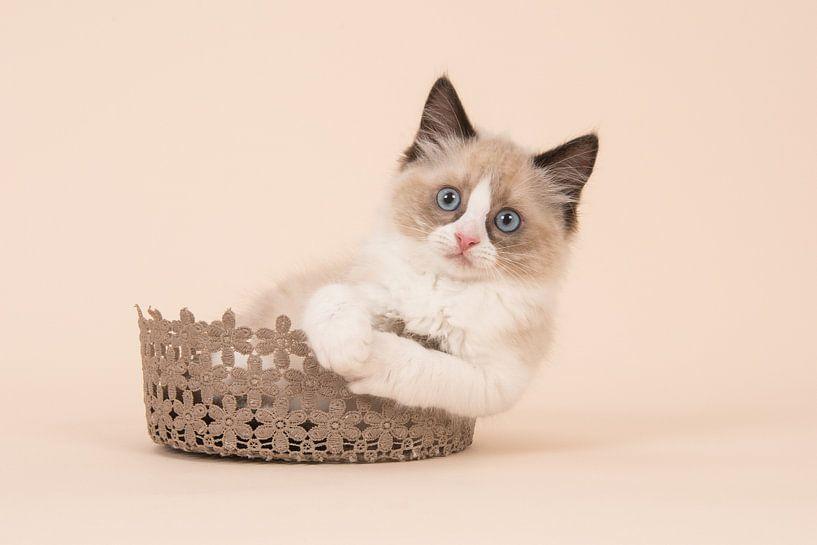 Ragdoll kitten van Elles Rijsdijk