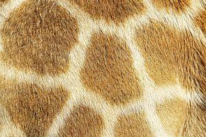 Giraffe von