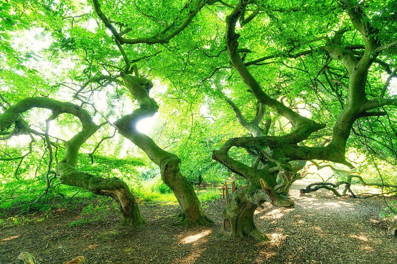 Süntel Buche mit grünen Baumkronen von Oliver Henze