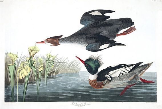 Middelste Zaagbek van Birds of America