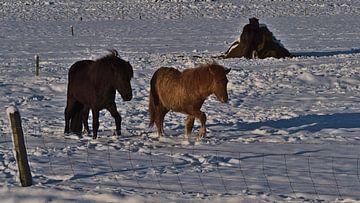 Islandpferde im Winter von Timon Schneider
