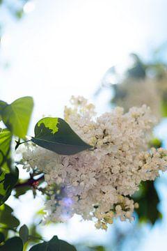 Weißer Flieder im Gegenlicht von Kerstin Marosi