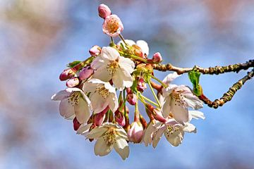 Japanische Kirsche (Sakura) von Eduard Lamping