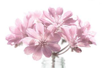 Weiche rosa Blume in Retro-Farbe auf weißem Hintergrund von Lisette Rijkers