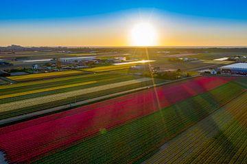 Birnenfelder mit untergehender Sonne in Noordwijkerhout von Michel Sjollema