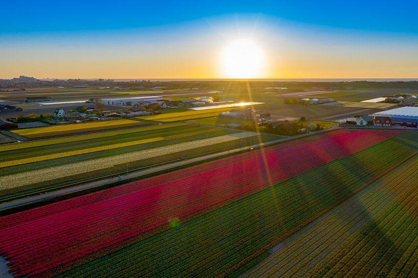 Bollenvelden met ondergaande zon in Noordwijkerhout van Michel Sjollema
