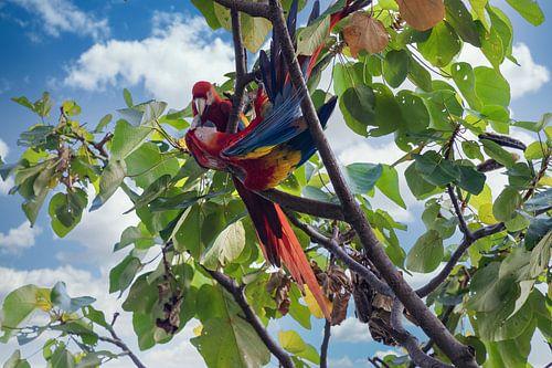 Deux perroquets dans la forêt tropicale du Costa Rica sur Tilo Grellmann | Photography