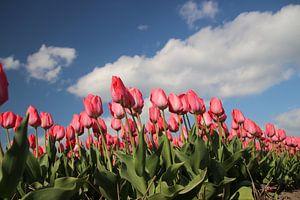 Roze tulpen op bloembollenveld van