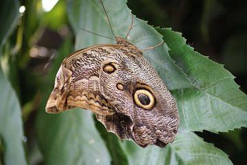 caligo eurilochus vlinder van Ronald en Bart van Berkel