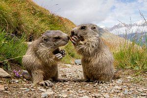 Jong marmotje bedelt om een stukje wortel bij een andere marmot