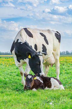 Mutterkuh und neugeborenes Kalb zusammen auf grüner niederländischer Wiese von Ben Schonewille