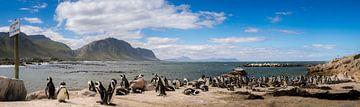 Pinguins bij Betty's Baai, Zuid-Afrika van Stef Kuipers