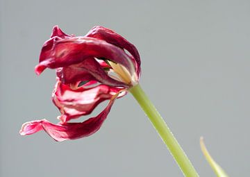 Tulip von Je Lo