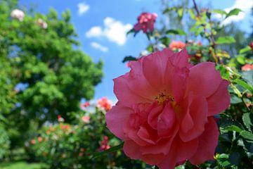 Rose in einer neuen Perspektive von Jan Verschoor