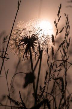 Pusteblume im Abendlicht von Kurt Krause