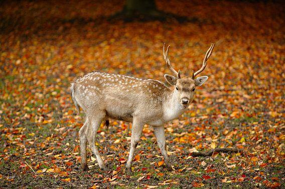 Hert in de herfst van Merijn van der Vliet