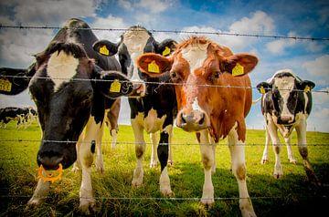 Nieuwsgierige koeien in de wei van Kim Claessen