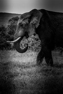 Hongerige olifant in Kruger Zuid-Afrika van Lorenzo Holtkamp