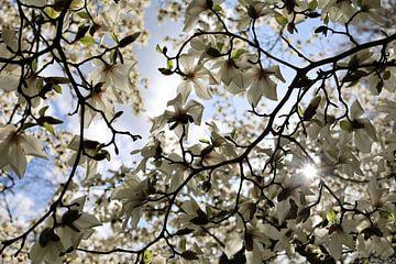 Magnolie in Blüte von A Picture Of