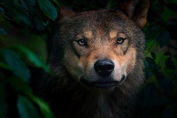 Neugieriger Wolf kommt aus dem Wald von Jesper Stegers