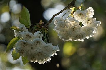 zonlicht op witte bloemen von Alise Zijlstra