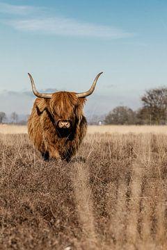 Schottische Highlander-Kuh auf der Heide von KB Design & Photography (Karen Brouwer)