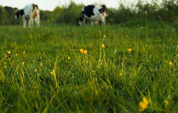 Ochtendlicht op boterbloemen in weiland met koeien van Cornelis Heijkant