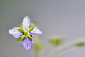 Ienie mini Veronica filiformis tussen gras bloeiende bloem van J..M de Jong-Jansen