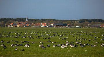 Rotganzen in de polder op Terschelling van