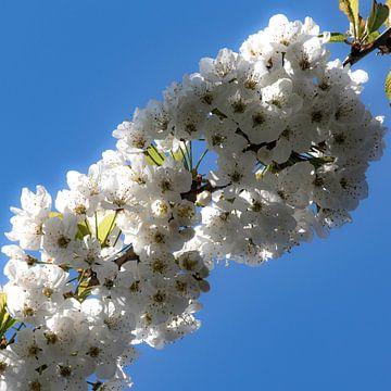 Blüte vor klarem blauen Himmel von Anne Ponsen