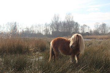 Shetlander pony in Nationaal Park De Alde Feanen van Anne Kernkamp