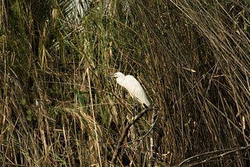 grote witte zilverreiger (ardea alba) vissend in de Okavango-delta van Tjeerd Kruse
