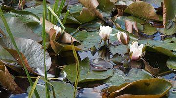 Waterlelies van Dirk de Bood