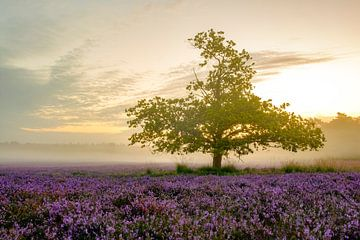 Bloeiende heide op de Veluwe bij zonsopkomst van Sjoerd van der Wal