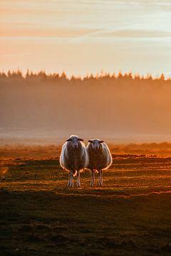 Veluwse heideschapen in het avondzonnetje. van Prisca Visser