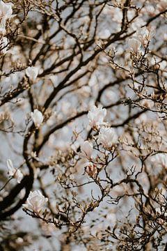 Magnolienblüte 1 - Isis Sturtewagen von Isis Sturtewagen