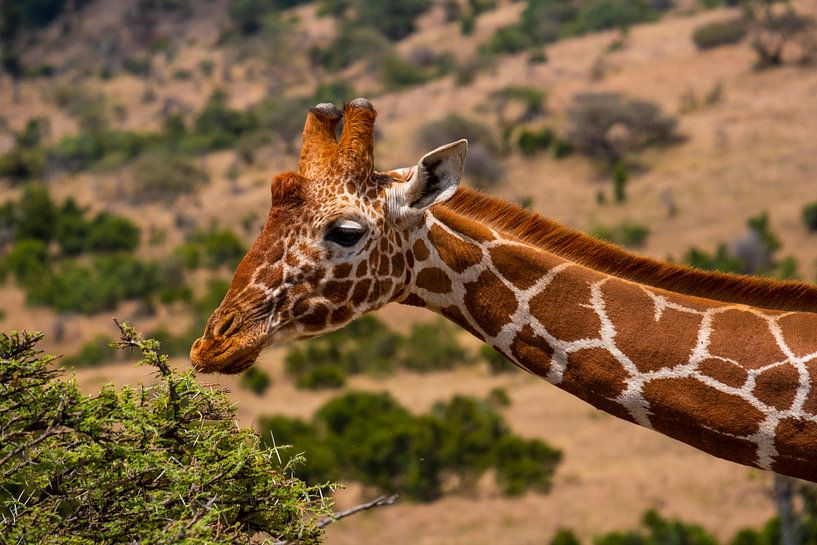 Giraffe in Kenia sur Andy Troy