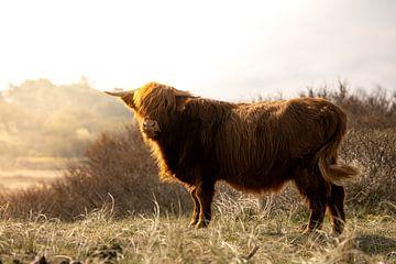 Highlander écossais dans le soleil du matin