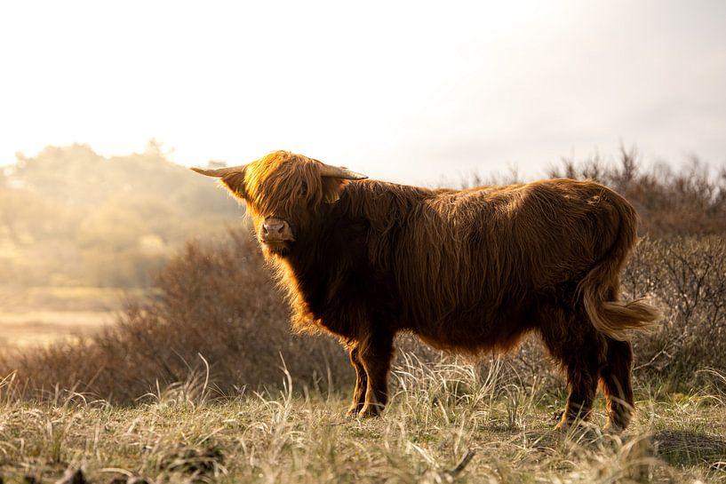 Highlander écossais dans le soleil du matin sur Arjen Schippers