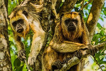 Nieuwsgierige apen in boom van e pha