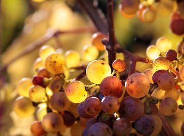 Goldene Riesling-Trauben im Herbst bei Kiedrich im Rheingau van Christian Müringer