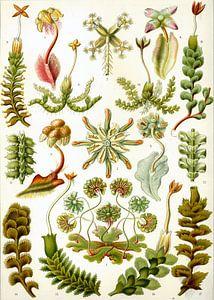 Botanische prent van Ernst Haeckel