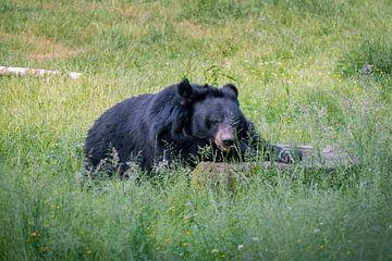 Kraag beer von Randy van Domselaar