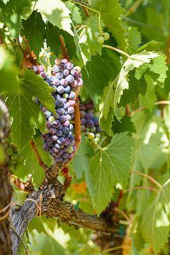 De druiven in Toscane voor de heerlijke Italiaanse Chianti wijn van Michel Geluk