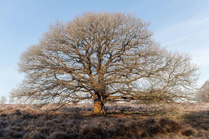 Un bel arbre et le gel hivernal sur Anjo ten Kate